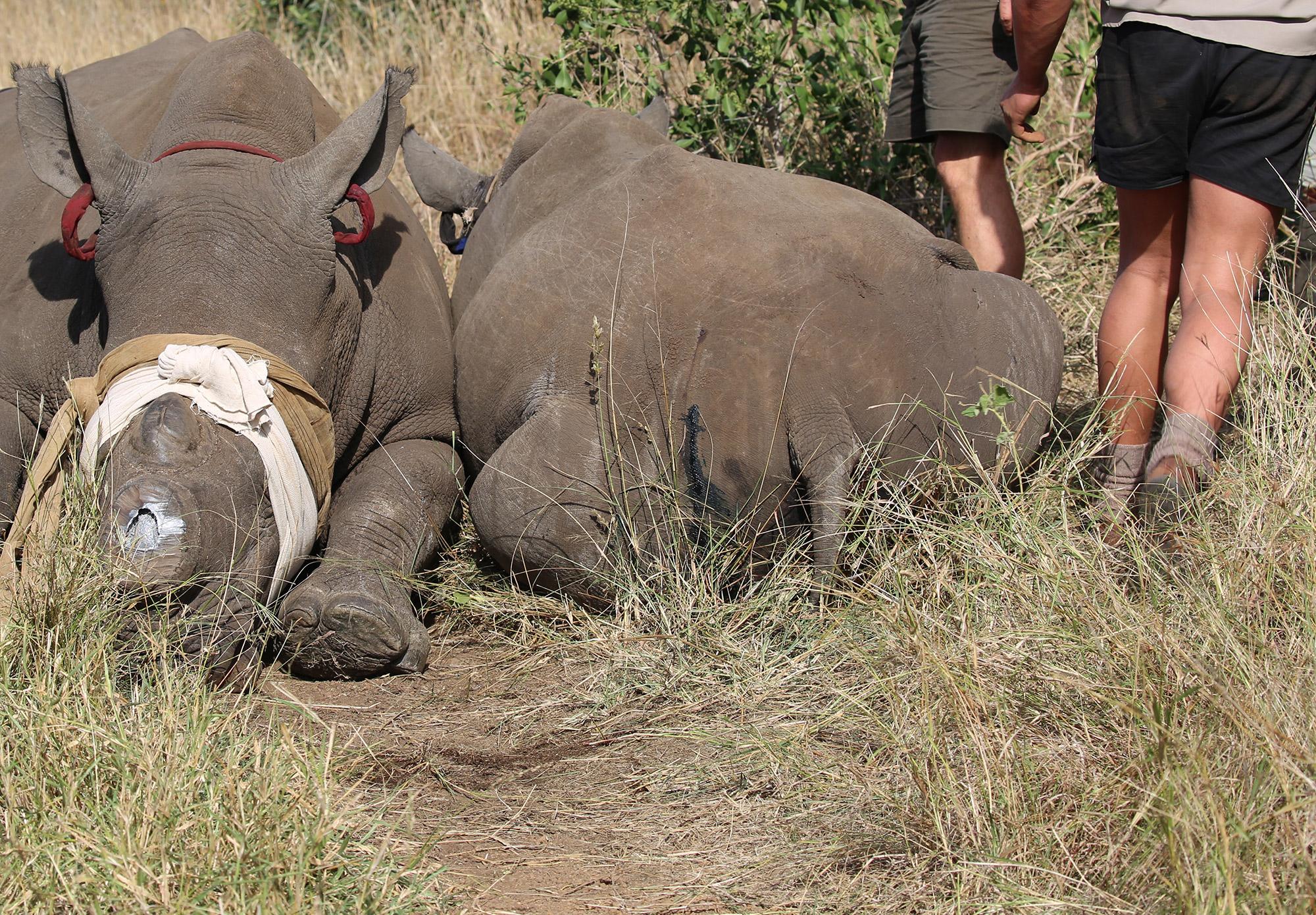 2 dehorned rhinos Africa