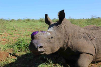dehorned rhino Africa