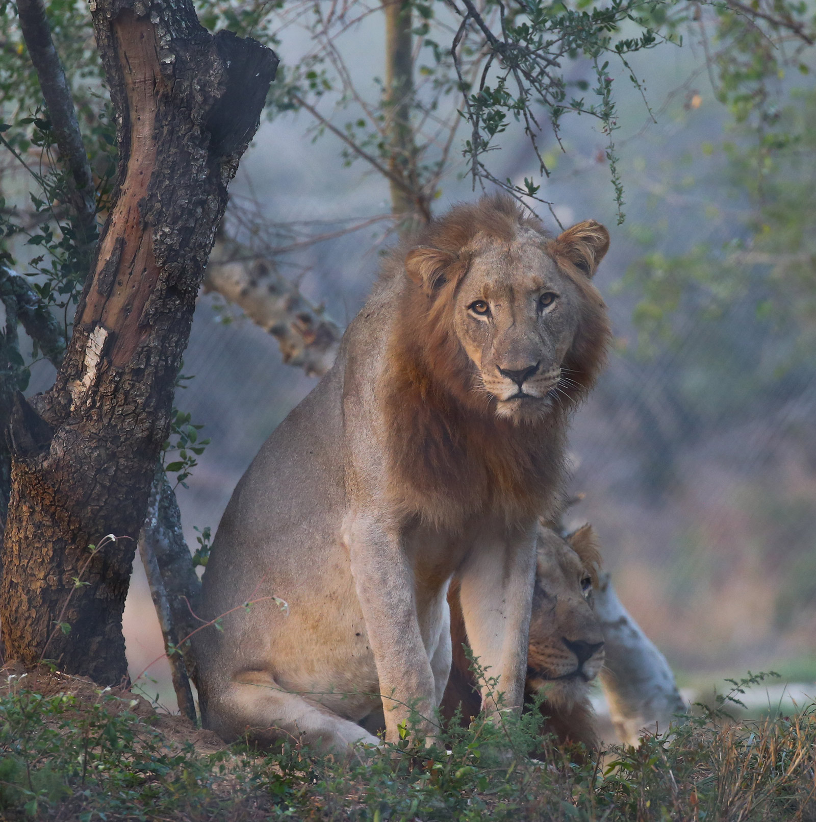 conservation lion brothers in boma Africa